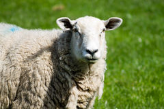 Adult Sheep Stock Photo