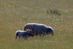 An adult sheep with her lamb. royalty free stock image