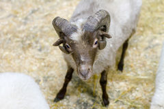 Adult sheep with horns looking at you Royalty Free Stock Photography