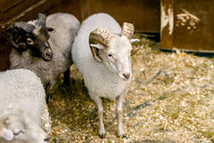 Adult sheep with horns looking at you Royalty Free Stock Photos