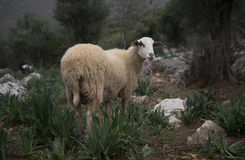 Adult Sheep in Kas, Turkey. A mother ewe investigates the photographer royalty free stock image