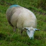 Adult sheep on meadow eating grass stock photos