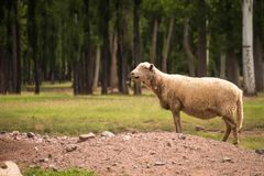 Adult sheep on a mountain of land in the countryside stock photos
