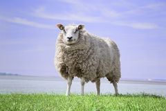Adult sheep standing in the field eating grass. Mother sheep standing alone on the grass field stock images
