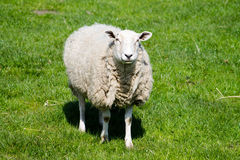 Adult Sheep Stock Images