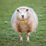 Adult sheep stands in meadow and looks Stock Photography