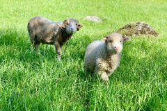 Two sheep, on a green pasture at the farm in mountains. Adult sheep and young lamb, on a green pasture at the farm in the mountains. Cute young baby animal stock photography