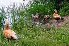 Adult shelducks with fledged chicks on the summer lakeside, Moscow suburbs, Russia. The ruddy shelduck or Tadorna ferruginea, known in India as the Brahminy Royalty Free Stock Photo