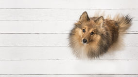 Adult shetland sheepdog seen from above sitting and looking up on a white wooden planks floor Stock Photography