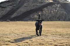 Adult Short-coated Black Dog Walking on Grass at Daytime Stock Photography
