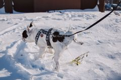 Adult Short-coated White and Black Dog With Black Harness on Top of Snow Stock Photography