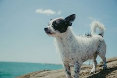 Adult Short-coated White and Black Dog on Gray Stone Near Body of Water Royalty Free Stock Image