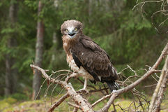 Adult Short-toed snake eagle on spruce branches Stock Photos