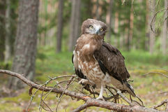 Adult Short-toed snake eagle on spruce branches Royalty Free Stock Photo
