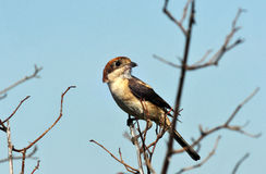 Adult shrike seen from the branch Stock Photo