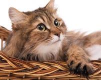 Adult siberian cat Royalty Free Stock Photos
