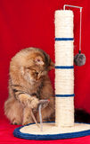 Adult siberian cat Royalty Free Stock Photography