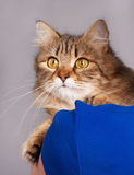Adult siberian cat Royalty Free Stock Photo