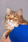 Adult siberian cat Stock Image