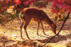 Adult sika deer in autumn leaves Royalty Free Stock Photography