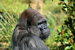Adult silverback gorilla Stock Photography