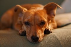 Adult Smooth Brown Dog Lying on Gray Bed Linen Close-up Photo royalty free stock images