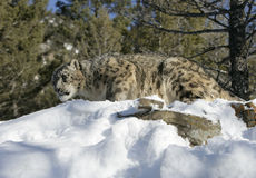 Adult Snow Leopard Stock Photo
