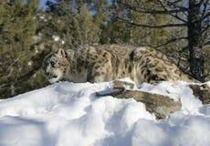 Adult Snow Leopard Stock Photo