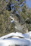 Adult Snow Leopard Stock Photography