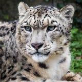 Adult snow leopard closeup portrait Royalty Free Stock Photography