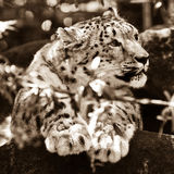 Adult snow leopard resting on rock Stock Photos