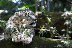 Adult snow leopard resting on rock Stock Images
