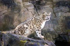 Adult snow leopard on rocky ledge Royalty Free Stock Photos