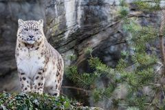 Adult snow leopard standing on rocky ledge Royalty Free Stock Image