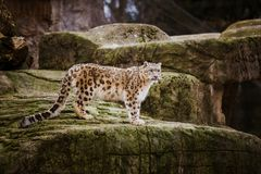 An adult snow leopard stands on a stony ledge in the Basel Zoo in Switzerland. Cloudy weather in winter royalty free stock photography