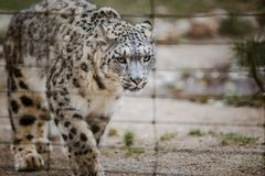 An adult snow leopard walks through its territory close up, view through the cage at the Basel Zoo in Switzerland. Cloudy weather stock images