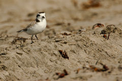 Adult Snow Plover Stock Photography