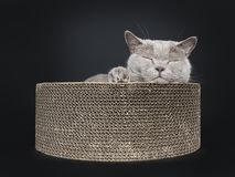 Adult lilac British Shorthair cat isolated on black background royalty free stock photography