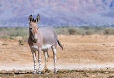 Adult Somali wild donkey (Equus africanus) in nature reserve, Israel Stock Photography