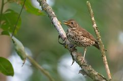Adult Song Thrush calling near his nest site royalty free stock photography