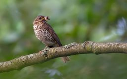 Adult song thrush with food for his chicks stock photos