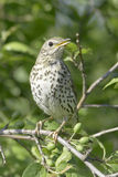 An adult of song thrush in natural habitat / Turdus philomelos Stock Image