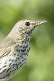 An adult of song thrush in natural habitat / Turdus philomelos Royalty Free Stock Photos