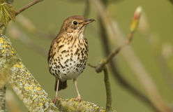 An adult Song Thrush Turdus philomelos perched in a tree. A pretty Song Thrush Turdus philomelos perched in a tree Royalty Free Stock Photo
