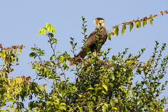 Adult Southern Crested Caracara Standing and Calling from a Treetop Royalty Free Stock Photography