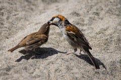 Adult sparrow feeding juvenile stock photo