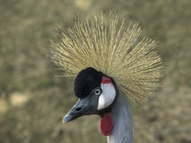 Adult specimen of crowned cranes Stock Image