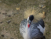 Adult specimen of crowned cranes Stock Photo