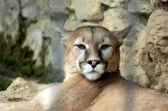 Puma - Puma concolor - Le Cornelle Wildlife Park royalty free stock photography