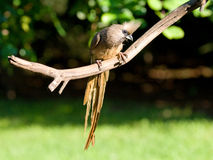 Adult speckled mousebird showing off long tail Stock Images